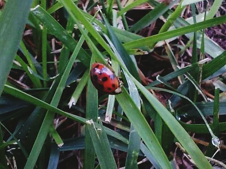 Red Ladybug Leaf Nature Spotted Growth No People Close-up Green Color Animal Themes Outdoors Agriculture Day
