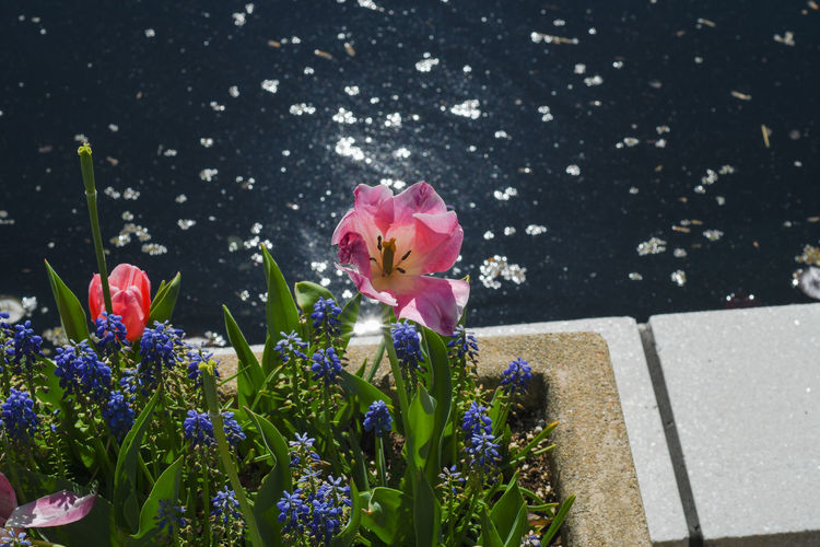 Tulip by Pond