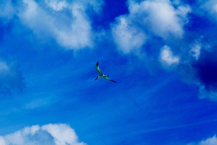 Sky Low Angle View Bird Flying Cloud - Sky Animals In The Wild Animal Themes Day Spread Wings One Animal Nature Beauty In Nature Mid-air Blue Outdoors No People Animal Wildlife BYOPaper!