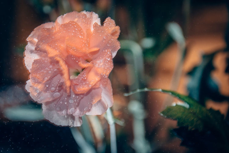 Close-up of wet carnation flower