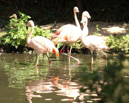 reflections on a sunny day. Sunny Day Pink Flamingos Flamingos In Water Flamingo Photography Flamingo Flamingo Bird Water Full Length Lake Reflection Walking Foraging Beak Freshwater Bird Animal Neck Feather  Wetland Wading