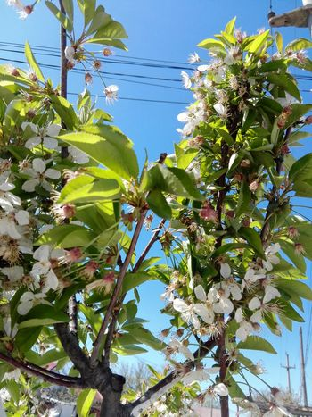 Nature Sunlight Low Angle View Outdoors Tree Sky Branch Flower Clear Sky Sakura Blossom Tree Sour Cherry Flowers Sour Cherry Tree Sour Cherry Blossoms Huaweiphotography Eyeem Market WOLFZUACHiV Photography Veronica Ionita Wolfzuachiv On Market WOLFZUACHiV Photos Huawei Photography Sakura 2017 Close-up Leaf