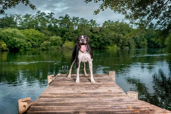 Nixie Lix - likes sticks and swims and treats but her absolute favourite thing is a frisbee Summer Pampered Pets Jetty Black And White Dog American Bulldog Pet Photography