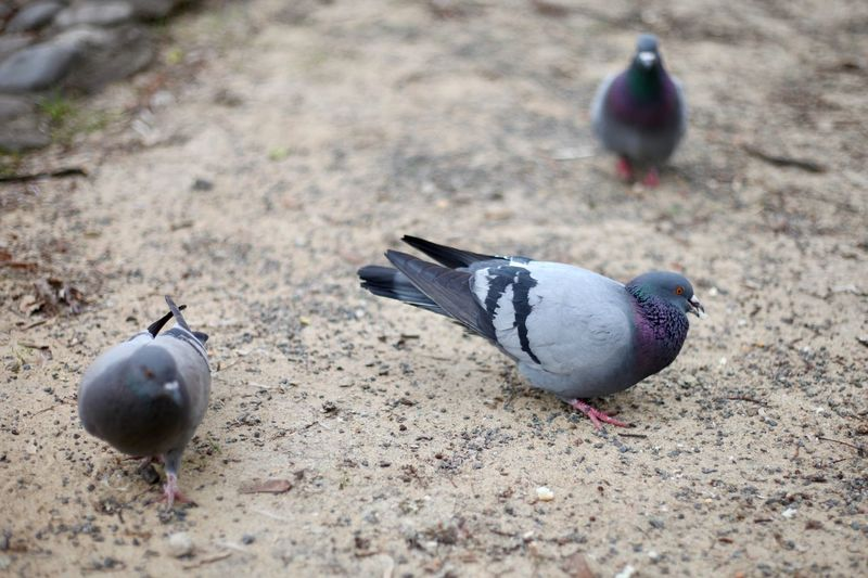 High angle view of pigeons on field