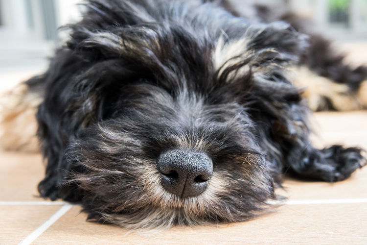 Close-up portrait of puppy relaxing on floor