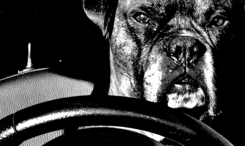 One Animal Pets Dog Looking At Camera Domestic Animals Portrait Animal Themes Indoors  Animal_collection Animal Portrait Animalphotography Black And White Collection  Black And White Photography Blackandwhite Photography Animal Body Part Blackandwhitephotography EyeEm Gallery Dog Portrait Dogs Of EyeEm Dog Photography Dogphoto Doginacar No People Outdoors 🐕🐕🐕🐕🐕🐕 🐕