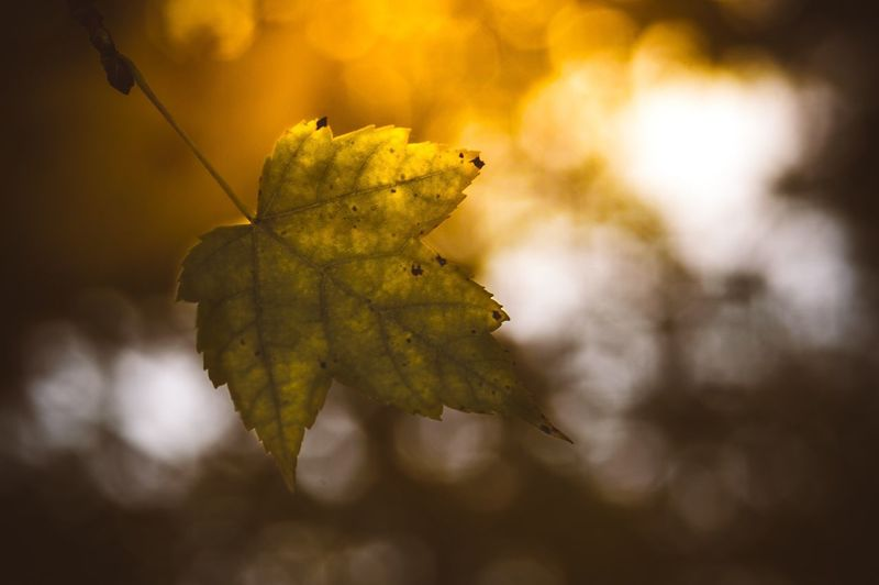 Close-up of yellow leaf