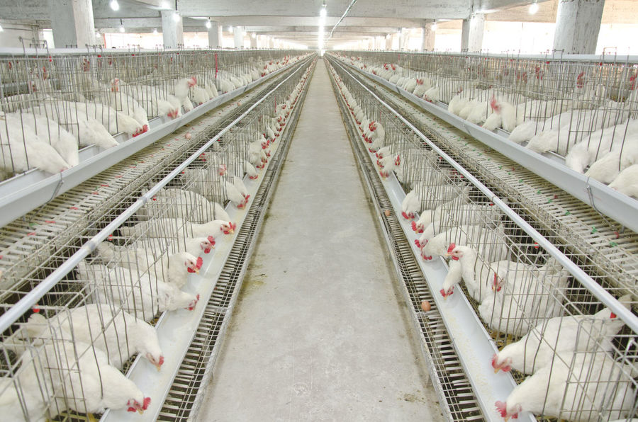 Poultry Farm of an Agro project Agriculture Chicken Farm Light Poultry Farming Agriculture Photography Agro Hen And Chicks Indoors  No People Projects White Workers Area