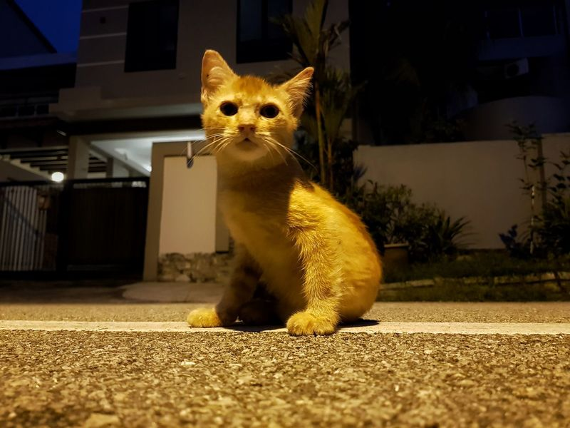 Animal One Animal Looking At Camera Eye Portrait Mammal Night Feline Domestic Cat Closing Pets No People Outdoors Leopard One Cat Cat Kidnapper Streetphotography Cat Model Street Cat Photography Low Angle View Cat Lovers Orange Cat Stray Cat