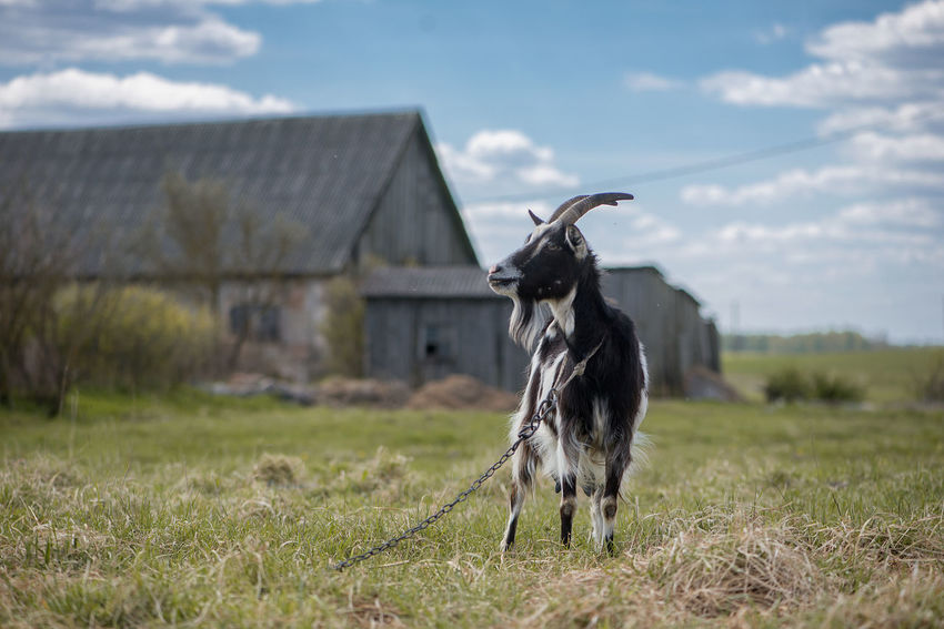 Agriculture Animal Themes Background Beauty In Nature Billy Goat Black Cattle Breeding Day Domestic Animals Farm Field Focus On Foreground Goat Grass Landscape Landscape_Collection Latvia Livestock Mammal Nature No People One Animal Outdoors Pasture Sky