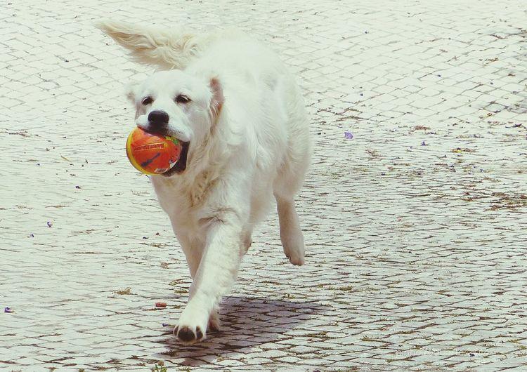 Dog Pets Domestic Animals One Animal Mammal Sand Animal Themes Outdoors Beach No People Day Portrait Nature LabradorLove LabradorRetriever Labradorlife Labradorable  Labradoresdoinstagram Labrador Love LabradorPuppy
