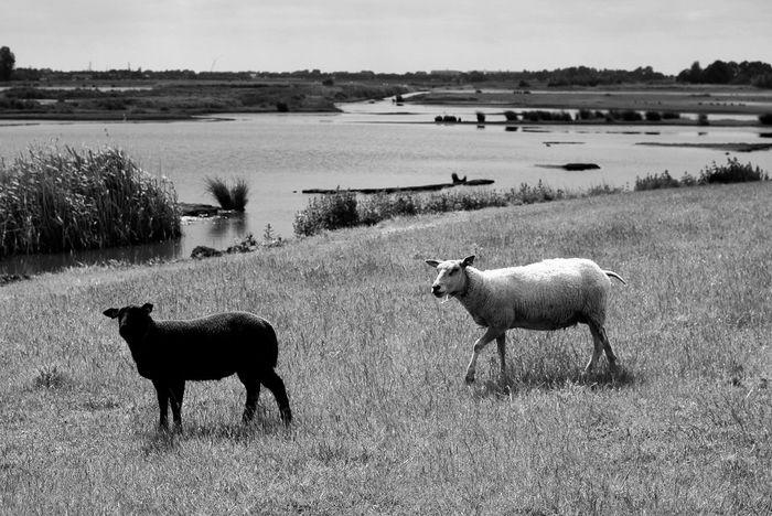 Black & White Sheep@Work