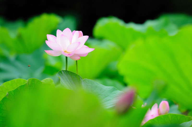 Taiwan Beauty In Nature Close-up Flower Flower Head Flowering Plant Fragility Freshness Green Color Growth Inflorescence Leaf Lotus Water Lily Nature No People Petal Pink Color Plant Plant Part Selective Focus Taipei Vulnerability  Water Lily 台灣 植物園 荷花 荷花池