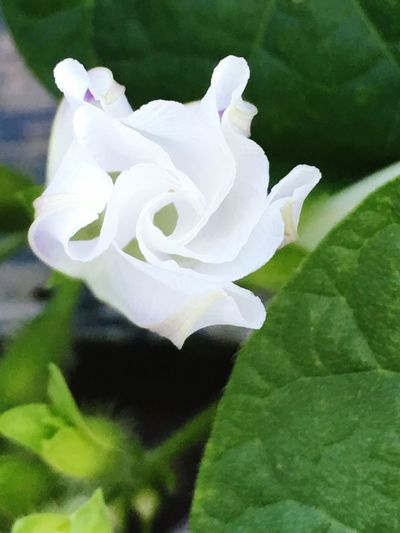My morning glory at night .... Morning Glory Flower White Flowers - My Garden @my Home My Passion ❤ Taking Photos Natures Beauty... Photography Mother Nature Breathtaking Summertime Enjoying Life