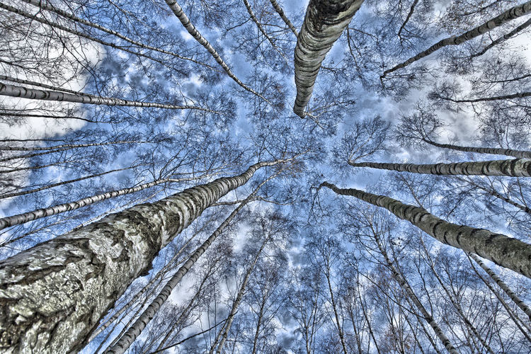 Against The Sky Birches Birches Without Leaves Birken Birken Ohne Laub Blauer Himmel, Weiße Wolken Blue Sky, White Clouds. Weitwinkelige Perspektive Wide Angle View