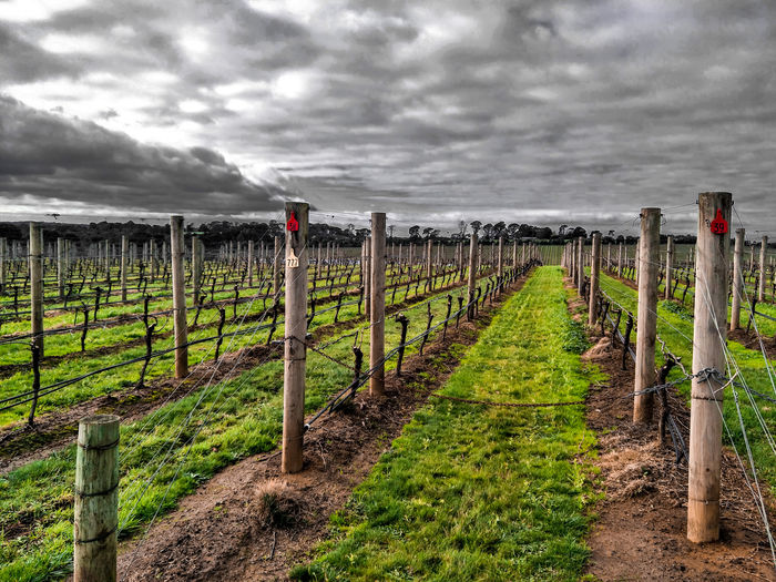 winery Rural Scene Wooden Post Agriculture Field Protection Barbed Wire Safety Security Sky Grass Vineyard Vine - Plant Vintner Winery Cultivated Land Agricultural Field Crop  Vine