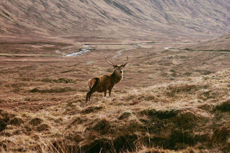 The King of Scotland. Scotland Deer Outddoor Travel First Eyeem Photo