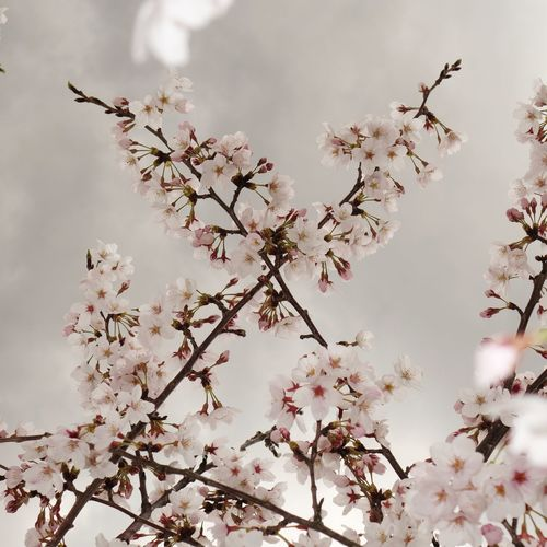 X Tree Branch Nature Blossom Springtime No People Flower Head Cherry Blossoms 桜 サクラ