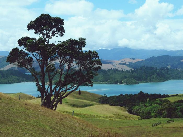 Big tree / Coromandel/ New Zealand Scenics Landscape Nature Sky Mountain Tree Beauty In Nature Field Grass Outdoors Tranquil Scene Cloud - Sky Lake Water Mountain Range No People Tranquility Day Growth EyeEmNewHere EyeEmNewHere
