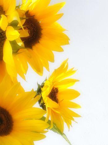 Colors Yellow Sunflowers🌻 Fall Sun