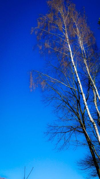Winter Trees Blue Color Blue Sky Vertical Blue Beauty In Nature Nature Tree Low Angle View Branch No People Clear Sky Tranquility Growth Bare Tree Outdoors Day Sky