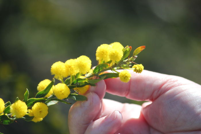 Flower Human Body Part Human Hand One Person Yellow Adult Holding Nature People Close-up Beauty In Nature Day Adults Only Outdoors Fragility Freshness Flower Head Wattle Flower South Australia