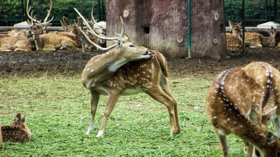 Zoo Animals  Deer