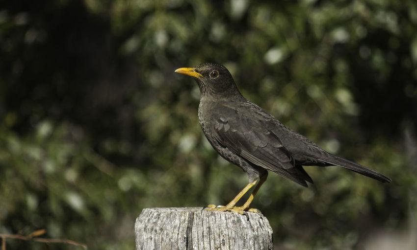 Close-up of blackbird perching on wooden post