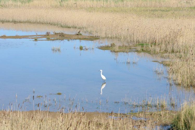 Egret in marshland habitat Animal Wildlife Animals In The Wild Animal Animal Themes Egret Marshland  Standing White Lone Lonely Individuality
