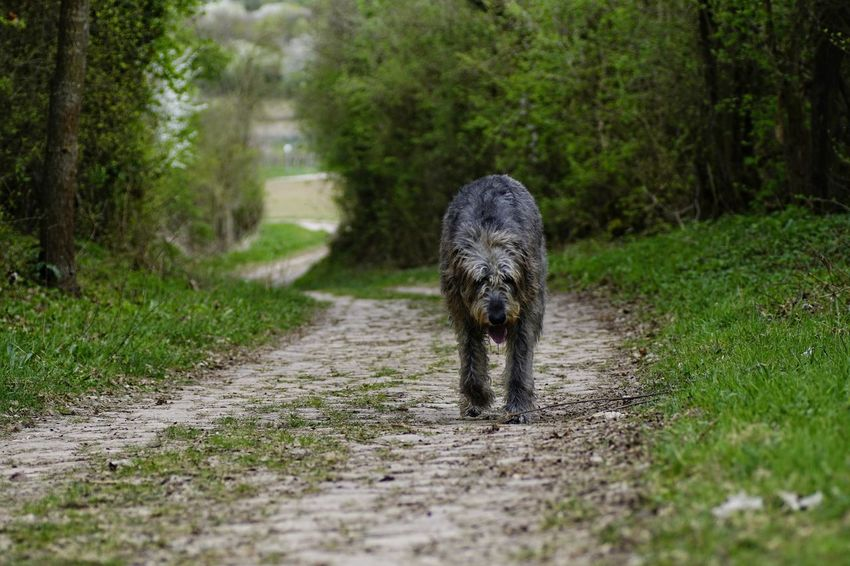 One Animal Animal Themes Walking Outdoors No People Day Nature Have A Nice Day♥ Hello World The Way Forward Irish Wolf Hounds. Willi The Wolfhound Irishwolfhound Gentle Giant. Irish Wolfhound Mommys Boy❤ Green Color Domestic Animals