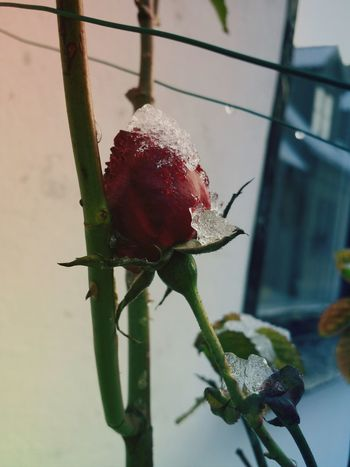 Ice Red Rose Winter Visby