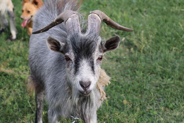 Portrait of sheep on field