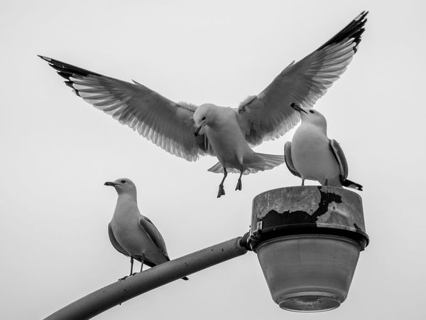 Animal Themes Animal Wildlife Animals In The Wild B&w Bird Bird In Flight Bird Photography Birding Birds Black And White Clear Sky Day Flying Gull Landing Low Angle View Nature No People Outdoors Seagull Sky Spread Wings Wings Wings Spread Wingspan