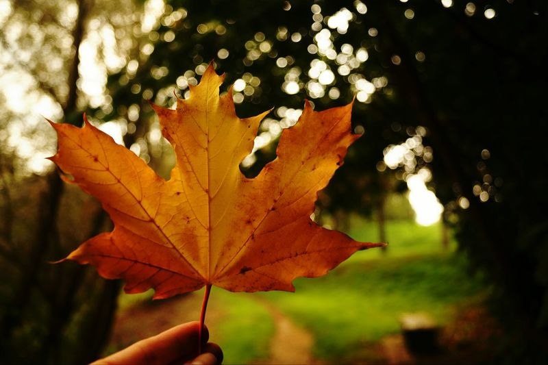 Autumn Leaf Nature Change Outdoors Maple Leaf Focus On Foreground Day Beauty In Nature Close-up Tree Sonyphotography Sony Alpha Frommypointofview Beauty In Nature Nature_collection Naturelovers Piekniejest Jesienne Liście Jesiennyspacer Jesień The Week On EyeEm EyeEm Nature Lover EyeEm Gallery