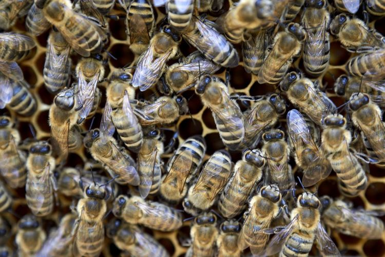 Full frame shot of honey bees on comb