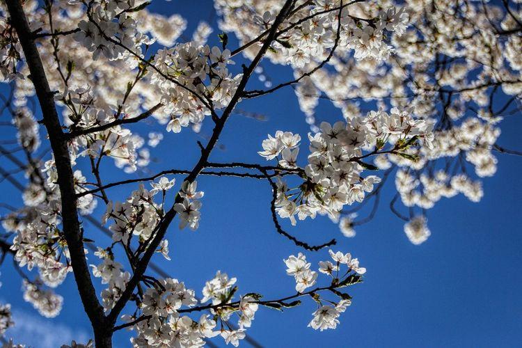 Bradford pear trees in Princeton. Showcase: April The Week On Eyem Princeton Flowers Bradford Pear Spring Springtime Spring Flowers Showcase April