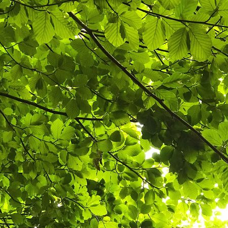 Leaf Green Color Growth Nature Plant Day Outdoors Sunlight No People Tree Low Angle View Beauty In Nature Freshness Branch Backgrounds Close-up