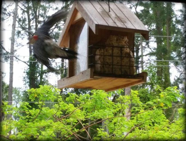 Take off... Woodpecker Bird Photography Bird Feeder Birdwatching Inflight Fly Away Woodpeckers Bird Watching