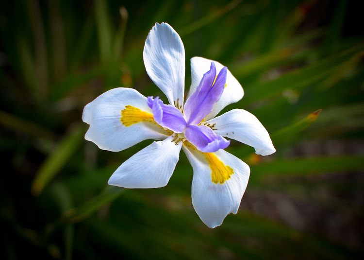 Single flowers Love Beauty In Nature Yesterday Non-urban Scene No People Nature Bulb Flower Bestoftheday Flower Petal Flower Head Fragility Beauty In Nature Nature Growth Day Focus On Foreground Iris - Plant Outdoors Freshness White Color No People Blooming Plant Close-up