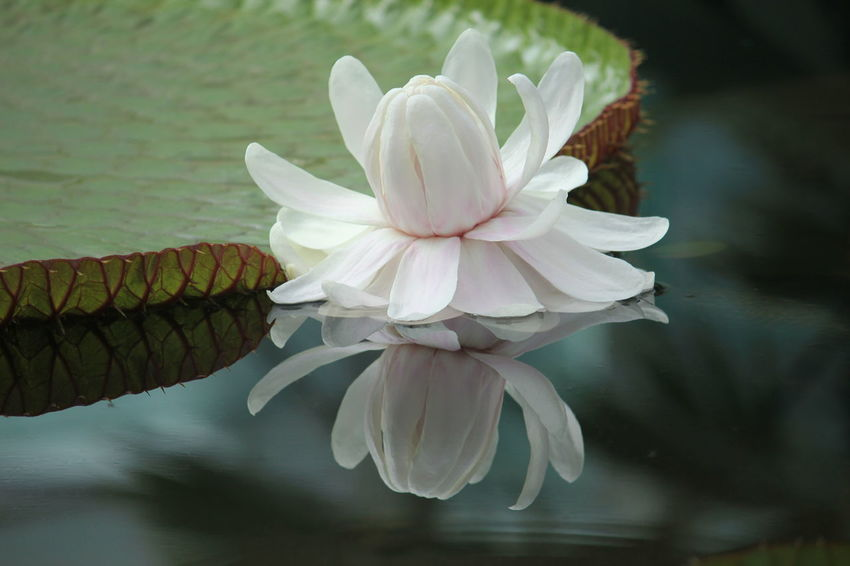 Flower Flower Head Fragility Petal Beauty In Nature Nature Close-up No People Springtime Freshness Beauty Indoors  Day South Australia Waterlily Waterlilypond