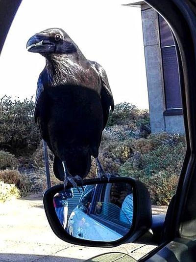 Evil Crow Crow Evil Bird Bird Perching Raven - Bird Close-up