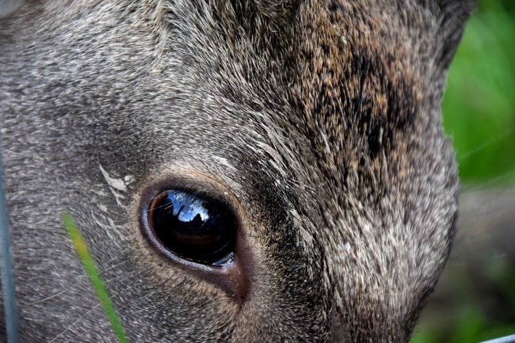 Nature Wildlife & Nature Animal Close Up Deer Closeup Deer Portrait Deers Eye Wildlife First Eyeem Photo