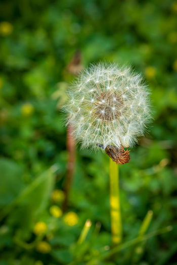 Plant Fragility Flower Vulnerability  Growth Freshness Dandelion Flowering Plant Beauty In Nature Close-up Nature Focus On Foreground No People Day Inflorescence Softness Green Color Flower Head Plant Stem Outdoors Dandelion Seed