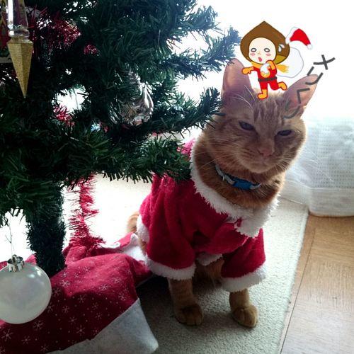 メリくり🎅🌰 猫 Cat ねこ Cat♡ Cat Lovers MerryX'mas めりくり メリークリスマス Merry Christmas