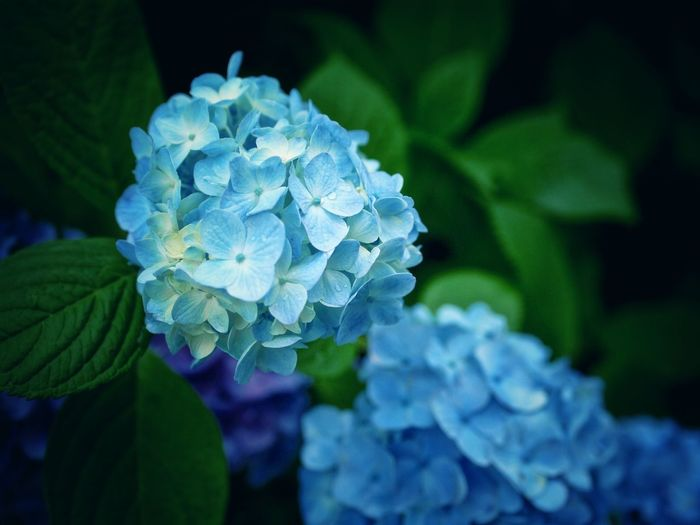 紫陽花-hydrangea- Ajisai Flower Rainy Days Beautiful Nature Softlight  / L10K 50mm prime Lens Nofilter de Good Night Nagasa-Kirei ( ナガサキレイ )