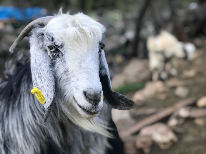 Goat portrait EyeEm Selects Animal Themes Animal Mammal One Animal Focus On Foreground Vertebrate Domestic Animals Animal Wildlife Domestic Livestock Pets Day Animal Body Part Close-up Portrait No People Animal Head  Nature Outdoors Looking At Camera