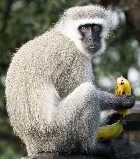 It's My Banana #wildlife Africa Gamedrives Monkey Safari