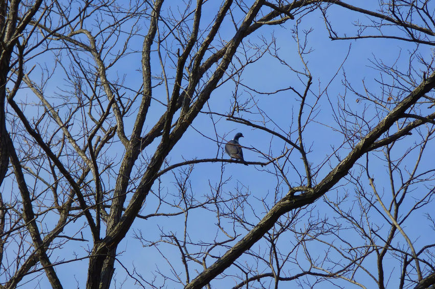 Wild Pigeon On The Tree Animal Themes Animal Wildlife Animals In The Wild Bare Tree Beauty In Nature Bird Branch Clear Sky Day Low Angle View Nature No People One Animal Outdoors Perching Sky Tree Woodpecker
