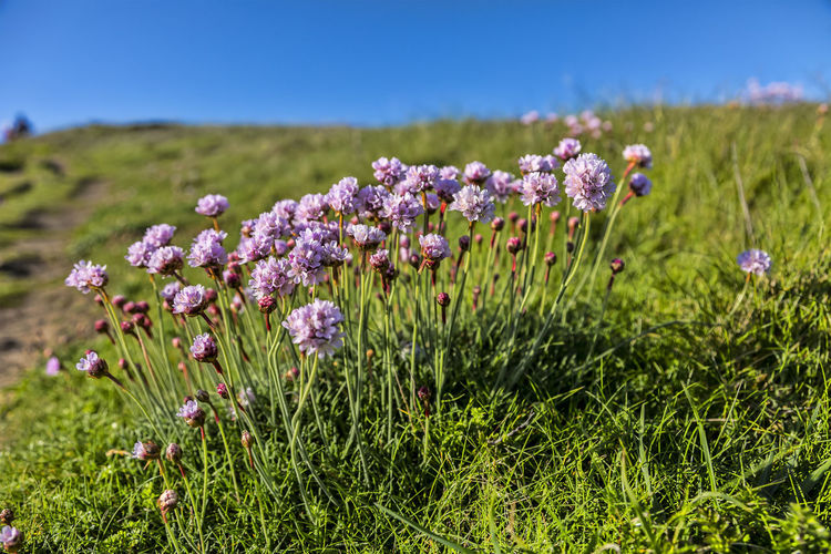 Armeria maritima on the Brittany coast in North of France Plant Flower Flowering Plant Grass Nature Beauty In Nature Freshness No People Environment Focus On Foreground Landscape Close-up Land Fragility Outdoors Armeria Maritima Armeria Botany Pink Flowers Wild Flowers Blooming Bloom Blossom