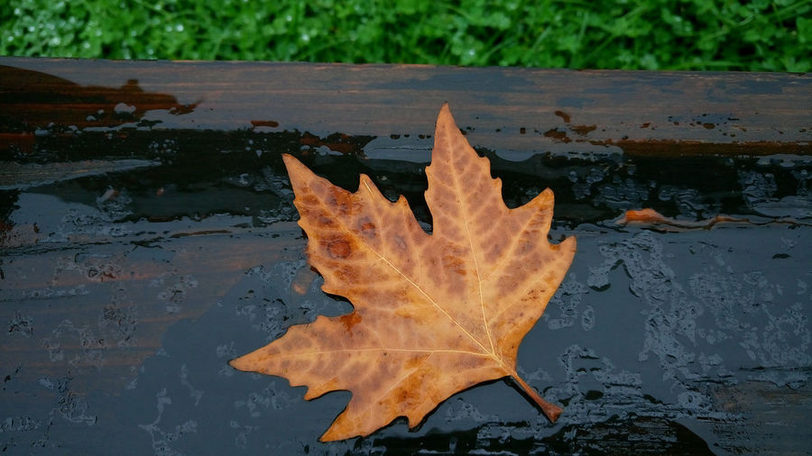 Close-up of maple leaf in water